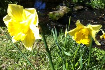 Glor na hAbhann Open Day April2015 daffodil